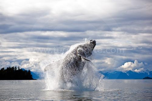 humpback breech