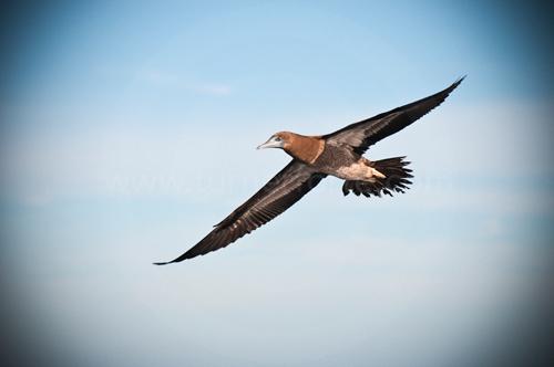 Boobie bird greets us upon arrival, Revillagigedo Islands