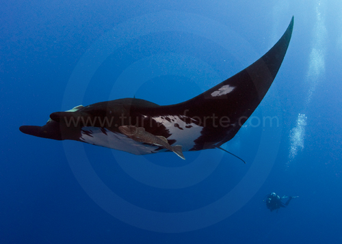 Giant Pacific Manta Ray and Diver at San Benedicto Island (Islas Revillagigedos), Baja California, Mexico