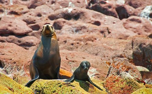 Sea lion and pup, Los Islotes Island, Sea of Cortez