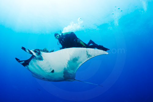 Diver swims along with Giant Manta Ray in Baja, Mexico