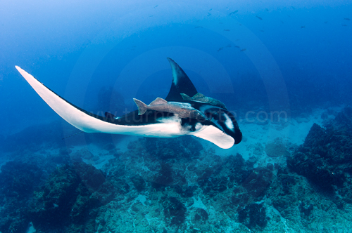 Giant Manta gently glides through water, San Benedicto Island (Islas Revillagigedos), Baja California, Mexico