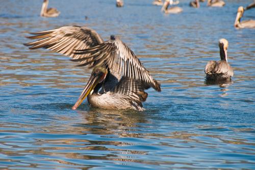 pelican splash