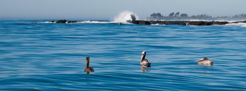 pelicans & wave crash